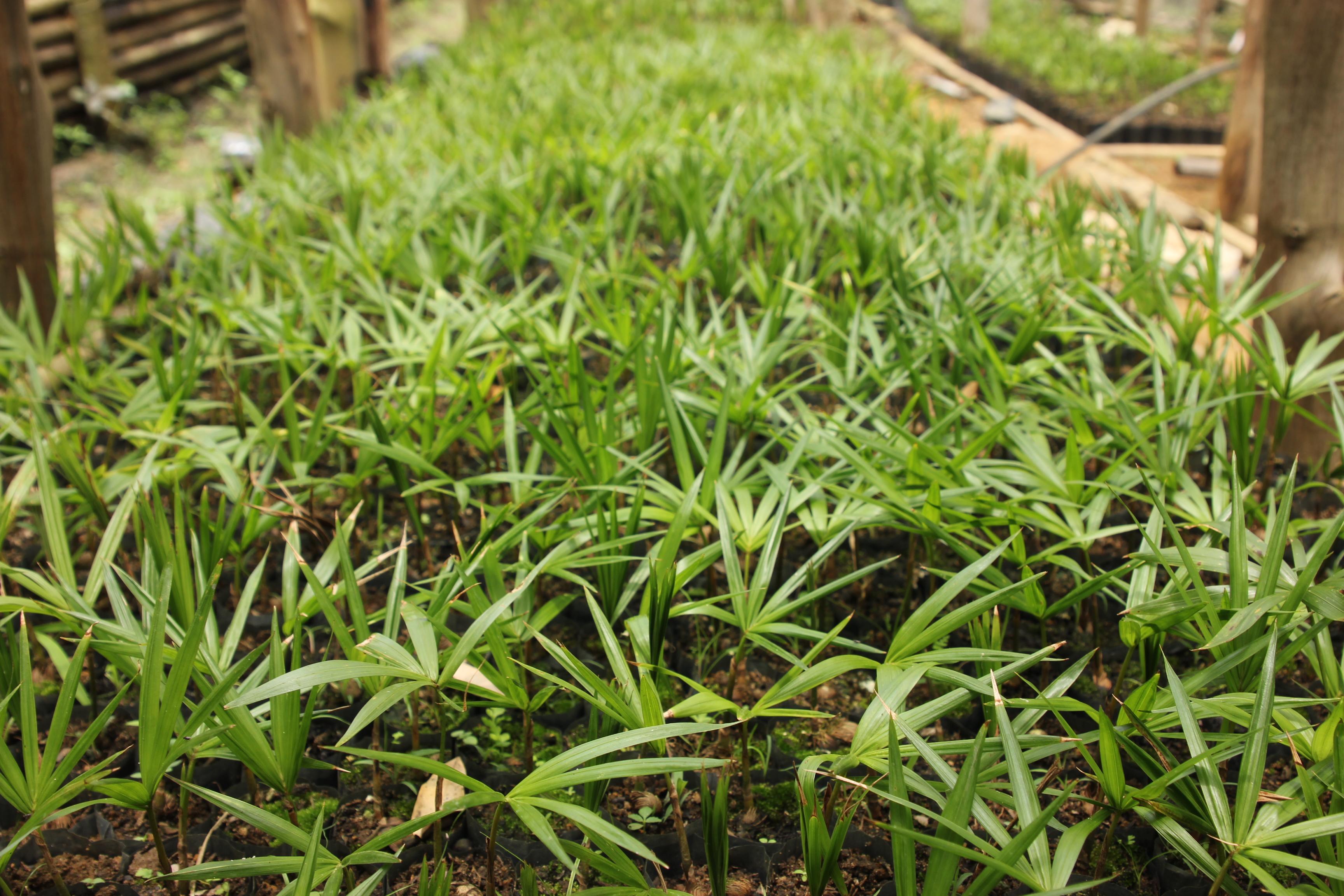 Mudas de Juçara para reflorestamento (Foto: Coletivo Catarse).